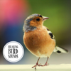 Relaxing Bird Sounds - Nature Recordings & Singing Birds
