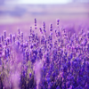 Purple Flowers - Peder B. Helland