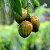 Nutritional benefits of a mango  artwork