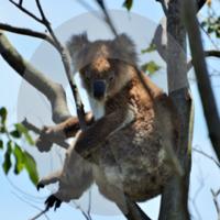 Criterion Koalas podcast