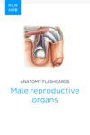 Anatomy flashcards: Male reproductive organs