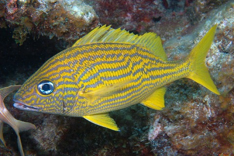 Reef Fish Florida and Caribbean