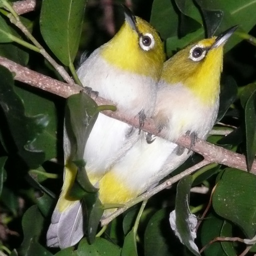 iLove Birds Lite Edition