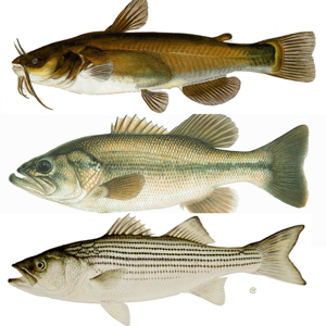 Freshwater Fish ID South app