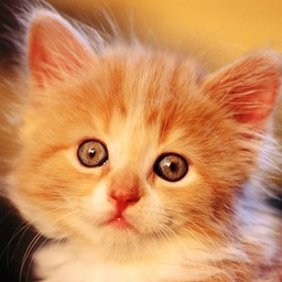 Cute Kitty Wallpaper