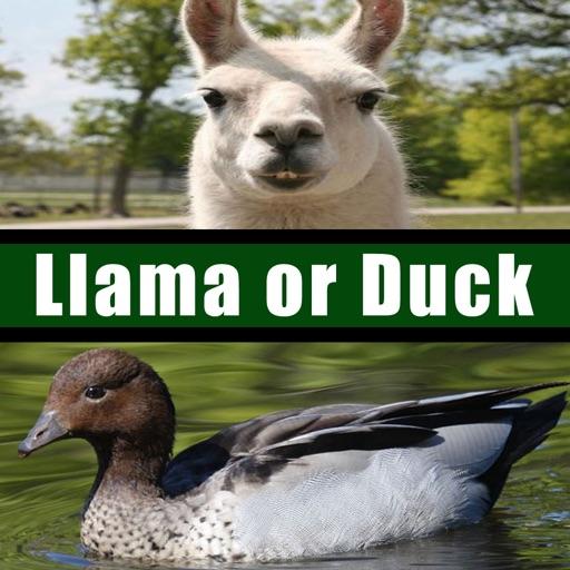 Llama or Duck