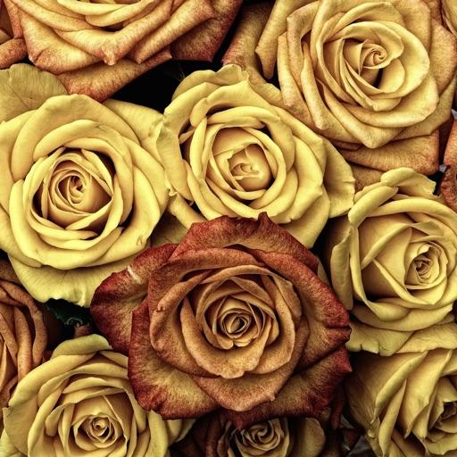 Roses Wallpapers: HD