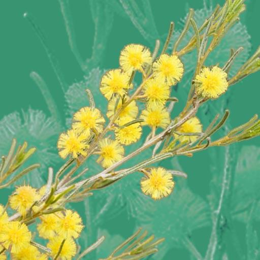 Wattle - Acacias of Australia