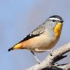 Faisal Akhtar - Australian Birds Sounds artwork