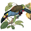 Birds of Ecuador - Field Guide