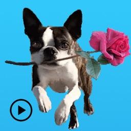 Iggy - Animated Boston Terrier