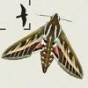 Moths of Britain & Ireland - iPhoneアプリ