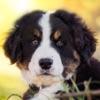 狗品种 - 测验 照片 小狗狗 小狗的爱 识别码 可爱