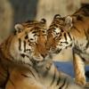 あなたの友人や家族と共有し、それらを幸せにする虎の写真
