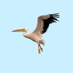 Proud Pelicans