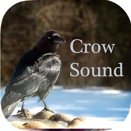 Crow Sounds – Crow Call Sound