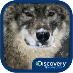 Discovery #MindBlown: Wolves