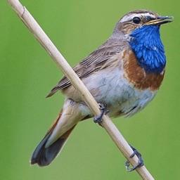 UK Birds Sounds