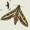 Moths of Britain & Ireland