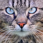 Cat Sounds & Tail Talk icon