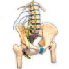 Hip Nerves Ending - USaMau03