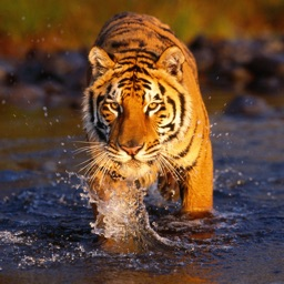 Tiger Wallpapers - Best Animal Background