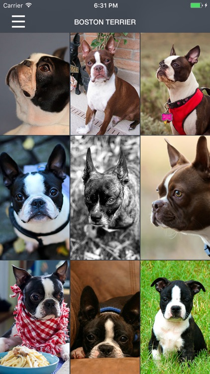 Boston Terrier Wallpapers Pro screenshot-1