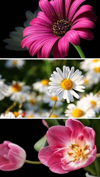 Flower Wallpapers - Beautiful Flowers Wallpaper HD screenshot-3