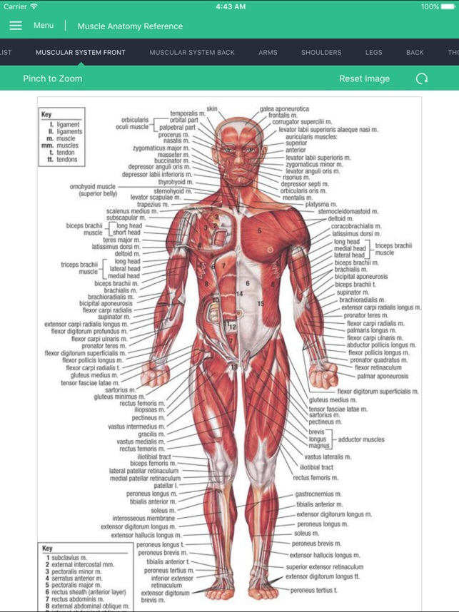 Muscle Anatomy Reference Guide On The App Store