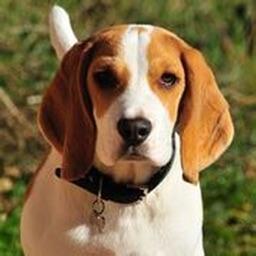 Beagle Sounds & Dog Sounds!