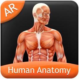 Human Anatomy - Muscular