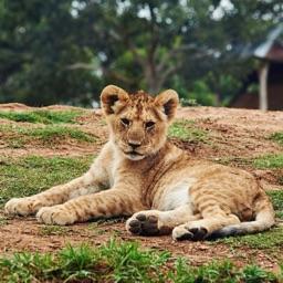 Lion HQ - High Quality Cats