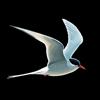 NatureGuides Ltd. - Collins Bird Guide アートワーク