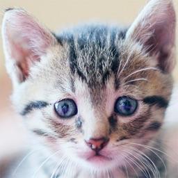SnapCat - Cat Breed Identifier