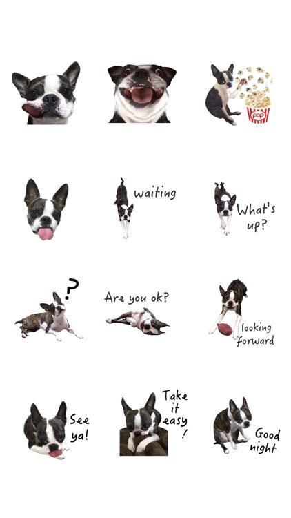 Boston Terrier Animation screenshot-5