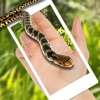 蛇在屏幕上 - 蛇屏幕恶作剧