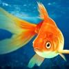 金魚アクアリウム 3D