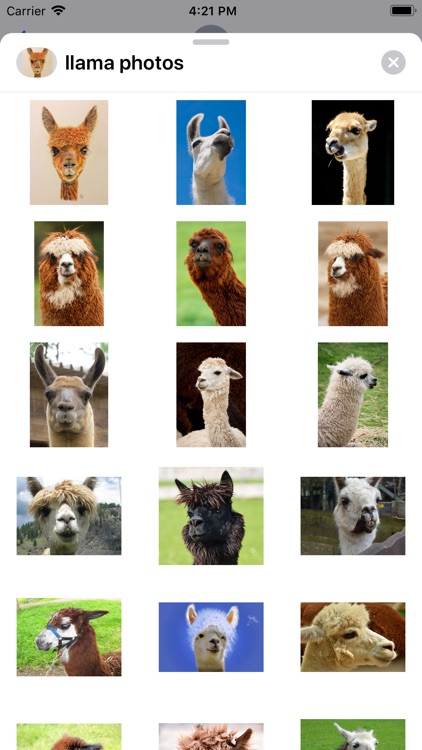 Llama Photography