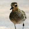 Pacific Golden Plover Reviews