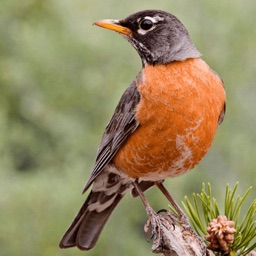 North American Birds and Sound