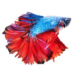 Betta Fish - Virtual Aquarium
