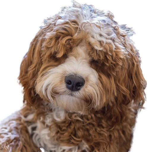Labradoodle Stickers