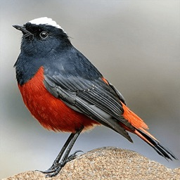 Asian Birds Sounds