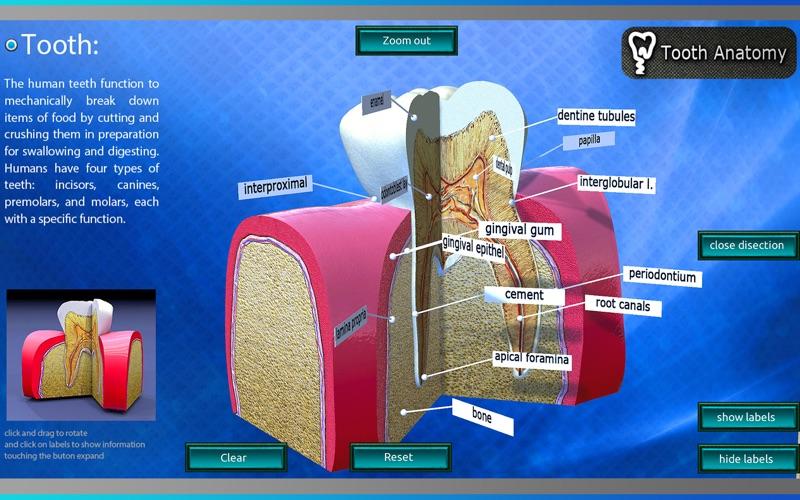 Tooth Anatomy скриншот программы 2
