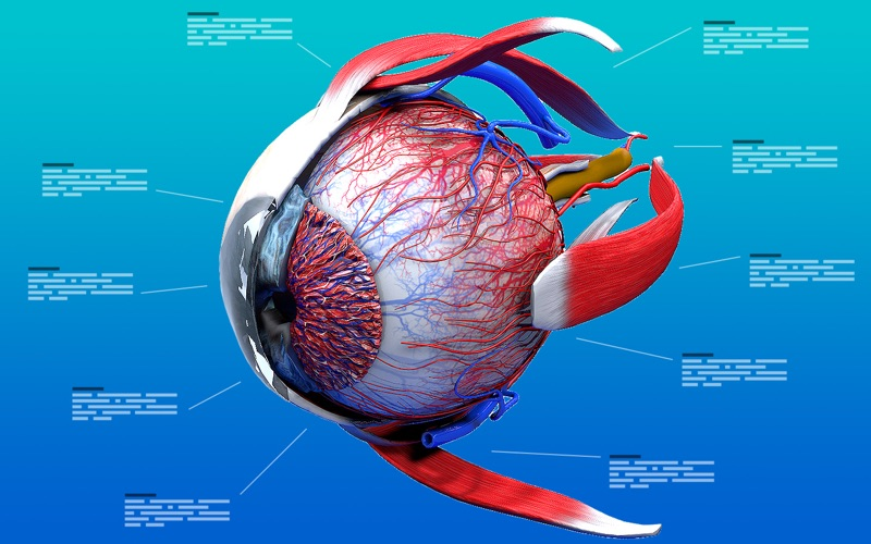 Eye Anatomy 3d Macgenius
