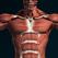 筋肉系3D(解剖学)