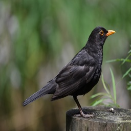 Blackbird Sounds - High Quality Bird Watching Sounds, Ringtones , Alerts and More