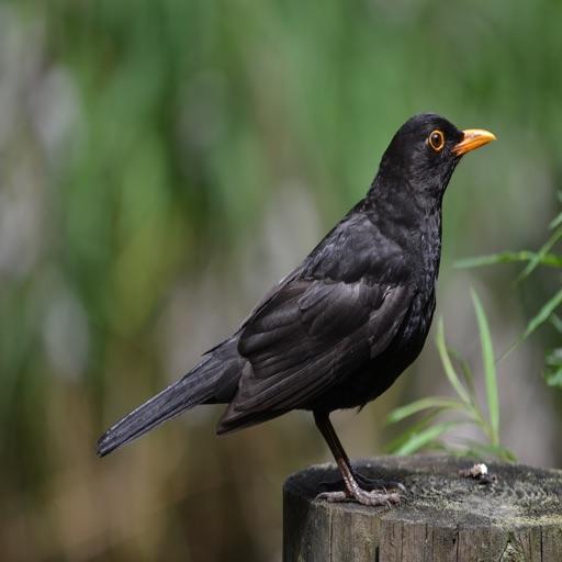 Blackbird Sounds - High Quality Bird Watching Sounds, Ringtones , Alerts and More