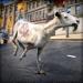 羊 模拟器 . 超级 狂 连连看 山羊 竞赛 模拟 游戏 免费