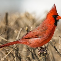 Codes for CHI Encyclopedia of Birds Hack